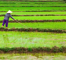 A Woman Transplants Rice Seedlings, in Phong Nha, Quang Binh, Vietnam (2013) by Zati