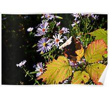 Michaelmas Daisy - Autumn Poster