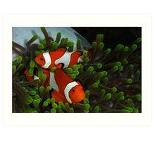 Clownfish in anemone Art Print