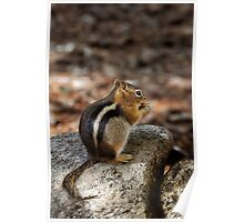 Golden Mantle Ground Squirrel Poster