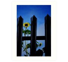Captive Sunflowers Art Print