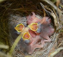 Baby Birds in Their Nest by Valerie Workman
