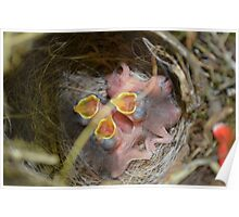 Baby Birds in Their Nest Poster