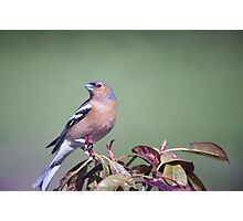 Chaffinch in Emerald Photographic Print