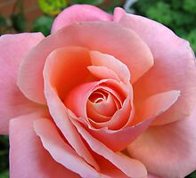 The Heart of a Rose by kathrynsgallery