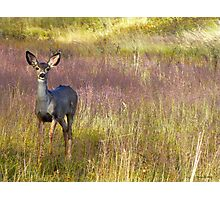 Fawn in lavendar grass Photographic Print