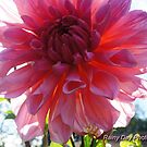 Shiloh Farm dahlia by Rainydayphotos