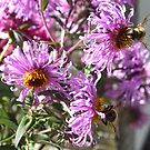 Two Busy Bees on Violet Flowers by ivDAnu