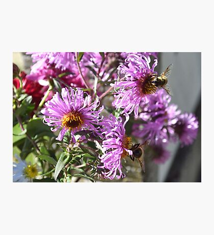Two Busy Bees on Violet Flowers Photographic Print