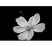 Japanese Anemone -B&W Photographic Print