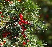 Yew Tree and Berries by Sue Robinson