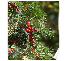 Yew Tree and Berries Poster