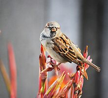 Sparrow by Laurie Minor