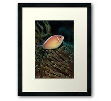 Pink skunk clownfish Framed Print
