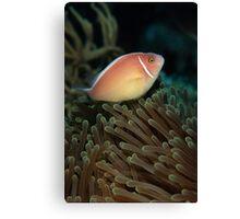Pink skunk clownfish Canvas Print