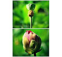 Before And After Lotus Flower Photographic Print