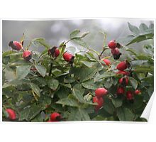 Rose Hips in the Mist Poster