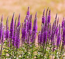 Flower - Speedwell, figwort Family - I dream of lavender  by Mike  Savad