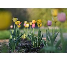 Summer tulips Photographic Print
