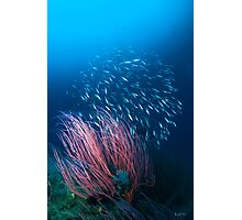 Razorfish & Whip Coral Photographic Print