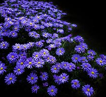 Oeil de Christ - (Thạch Thảo) - Aster Amellus by THHoang