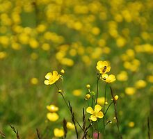 Wild Buttercup Field by jojobob