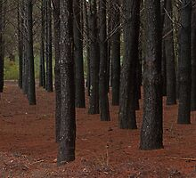 mundaring pine forest  by Elliot62