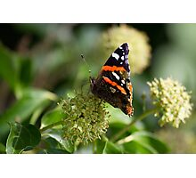 Red Admiral.. Photographic Print