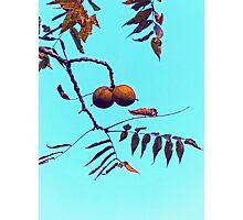 Black Walnuts Photographic Print