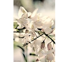 Black Locus Blooms Photographic Print