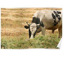 Bull Eating Grass Poster