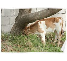 Young Calf Grazing Beside a Tree Poster