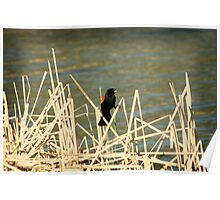 Red Winged Blackbird on Marsh Grass Poster