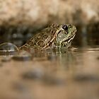 Chiricahua Leopard Frog ~ Gas Powered by Kimberly Chadwick