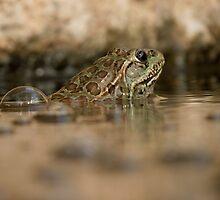 Chiricahua Leopard Frog ~ Gas Powered by Kimberly Chadwick