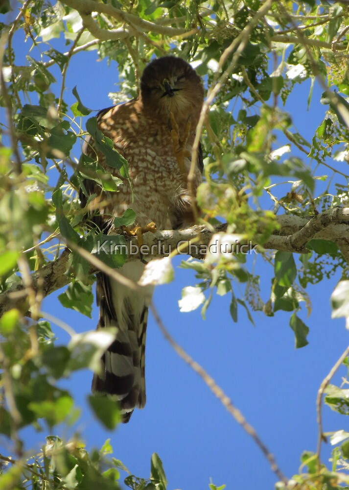 Coopers Hawk ~ Camera Ham by Kimberly Chadwick