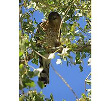 Coopers Hawk ~ Camera Ham Photographic Print