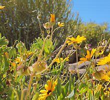 Blomme in Namakwaland by Harrietza