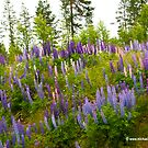Field of Lupins by Michael Brewer