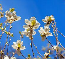 Magnolia tree blossoms by torishaa
