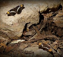Arizona Sister Butterflies by Kimberly Chadwick