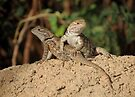 Desert Spiny Lizard (Juveniles) by Kimberly Chadwick