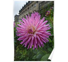 STUNNING DAHLIA IN THE GROUNDS AT HAREWOOD HOUSE Poster