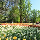 untitled tulips by SharronS