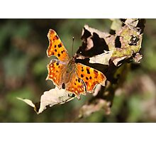 Comma Butterfly in Fall Photographic Print