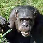 Chimpanzee by NAH Photography