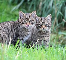 Wildcat Kittens by Christopher Lloyd