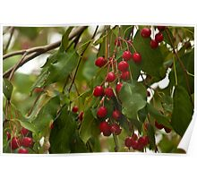 Cherries On The Tree Poster