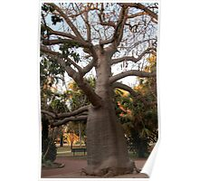 BOAB TREE, Broome Poster