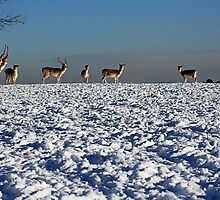 RED DEER by MIKESCOTT